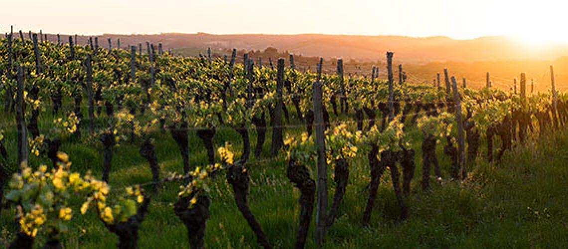 wijngaard in de zomer